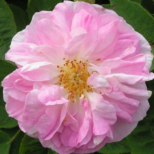 Gloire de Guillan - Pink Damask Rose
