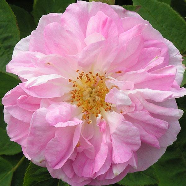 Gloire de Guillan - Pink Damask Rose