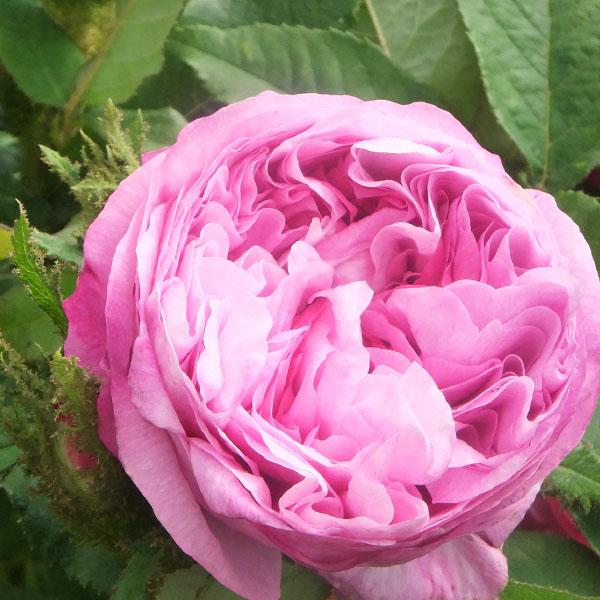 Glorie des Mousseux - Pink Moss Rose