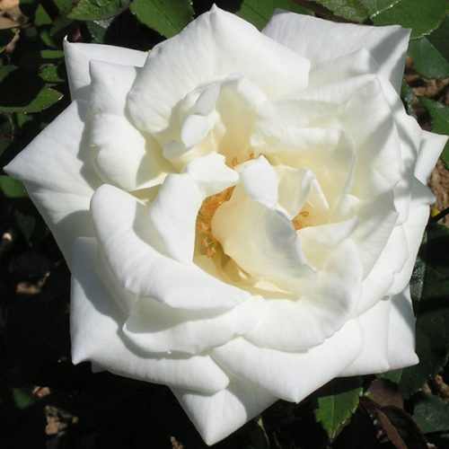 Gloire Lyonnaise - White Hybrid Perpetual Rose