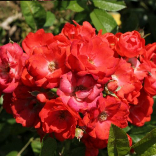 Gloria Mundi - Red Polyantha Rose