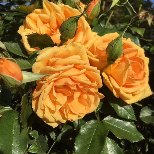 Golden Beauty - Orange Bush Rose