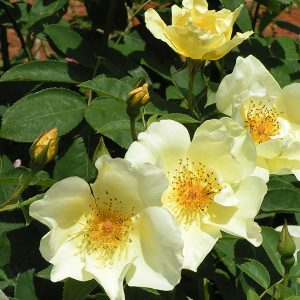 Golden Wings - Yellow Shrub Rose