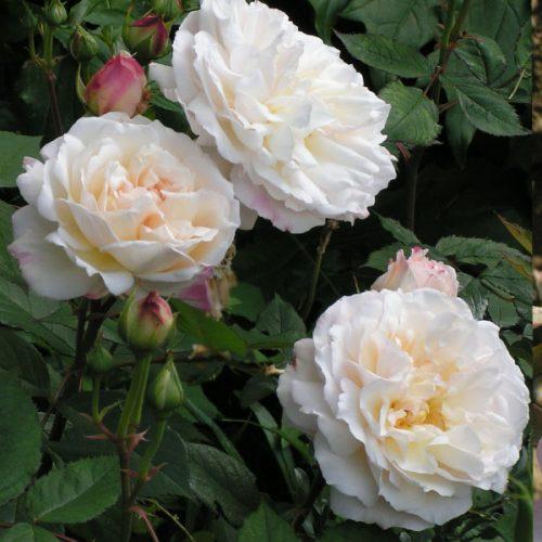Gruss an Aachen - Tea Rose