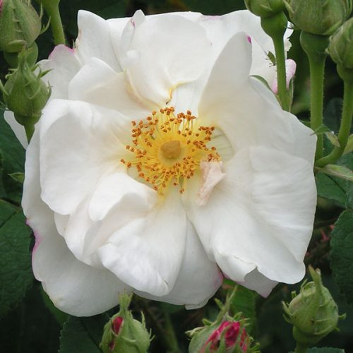 Hebe's Lip - White damask rose