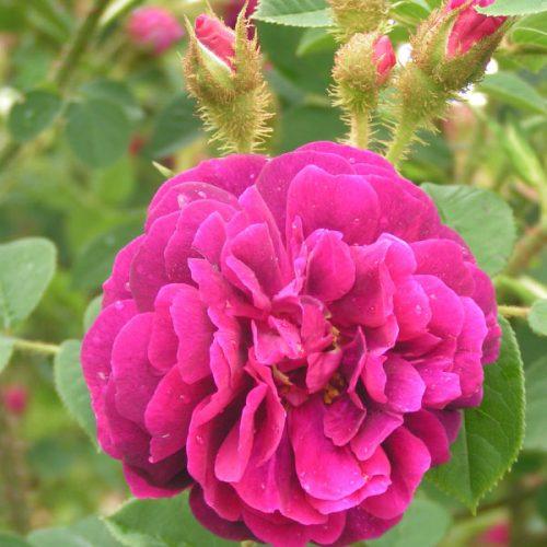 Henri Martin - Pink Moss Rose