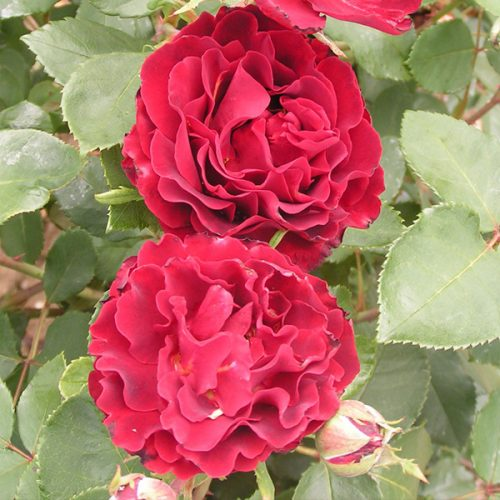Hommage a Barbara - Red Delbard Rose
