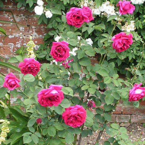 Hugh Dickson - Hybrid Perpetual Rose