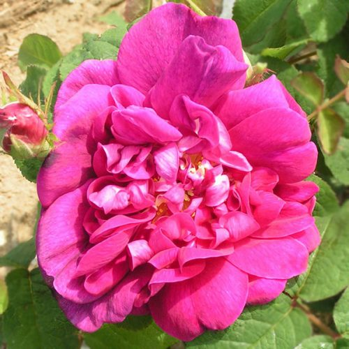 Indigo - Damask Rose
