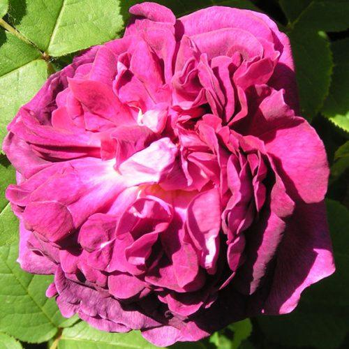 Indigo - Damask Rose