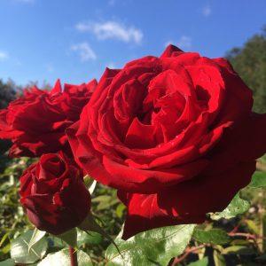 Ingrid Bergman Rose - Red Shrub Rose