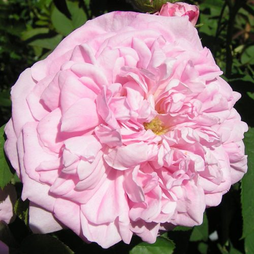 Ispahan - Pink Damask Rose