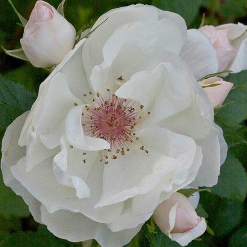 Jacqueline Du Pre - White Shrub Rose