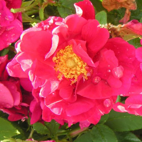 James Mason - Red Gallica Rose