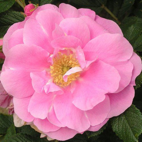 Jens Monk - Pink Rugosa Rose