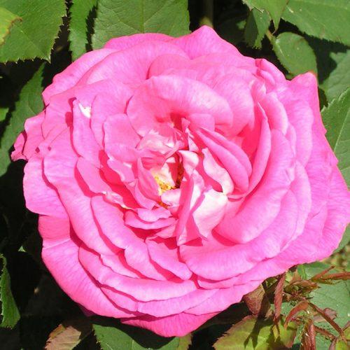 John Hopper - Pink Hybrid Perpetual Rose