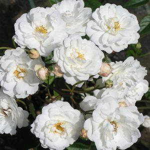 Katherina Zeimet - Polyantha Rose