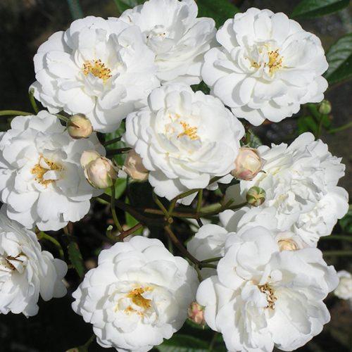 Katharina Zeimet - White Polyantha Rose