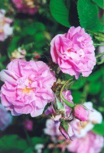 Kazanlik - Damask Rose