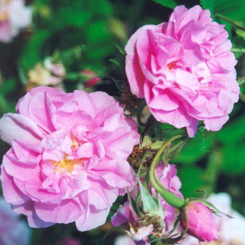 Kazanlik - Pink Damask Rose
