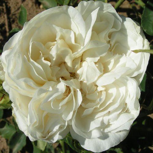 Kronprinzessen Viktoria - White Bourbon Rose