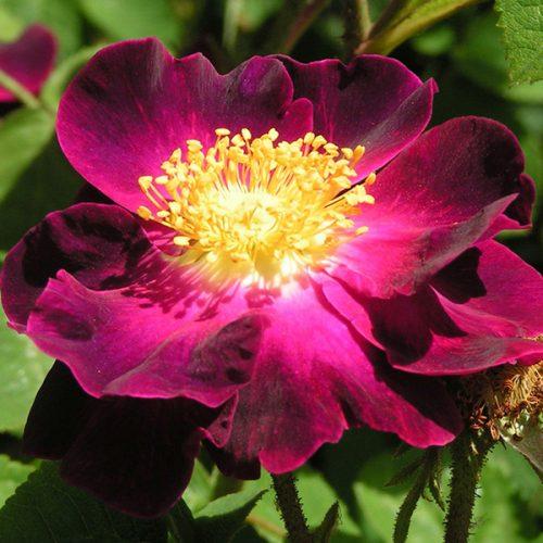 Violacea. a.k.a La Belle Sultane - Gallica Rose