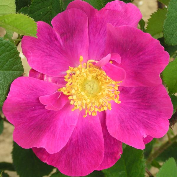 La Belle Sultane - Gallica Rose