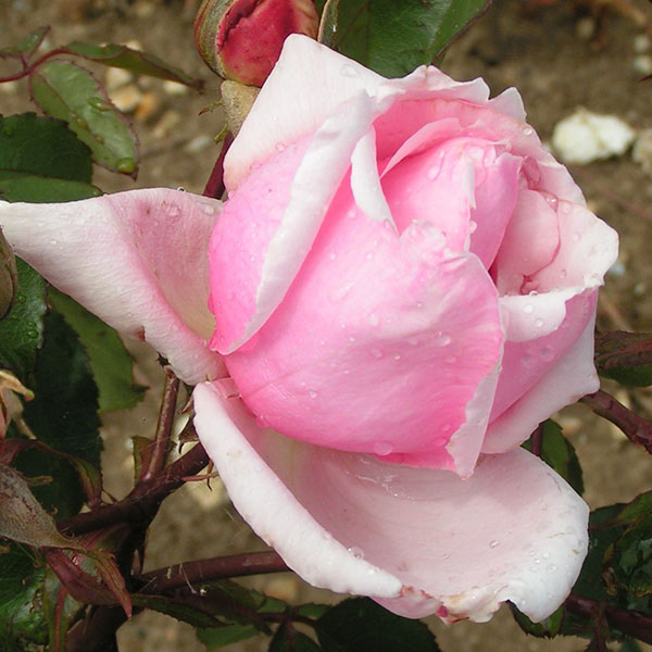 Lady Mary Fitzwilliam - Pink Rose