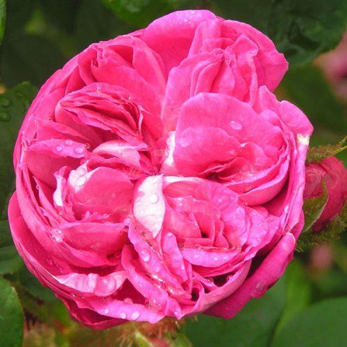 Laneii - Moss Rose