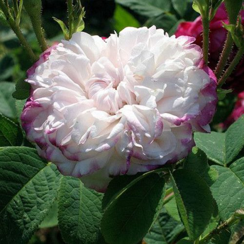 Leda - Striped Damask Rose