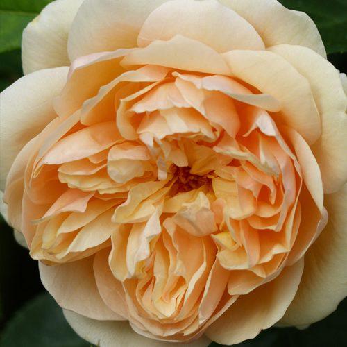 Lolabelle/ Lois - Apricot Shrub Rose