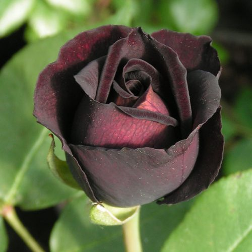 Louis XIV - Black China Rose