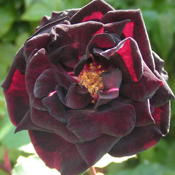 Louis Xiv Black Rose Trevor White Roses Specialists