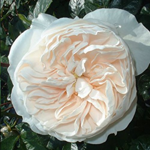 Macmillan Nurse - White Shrub Rose