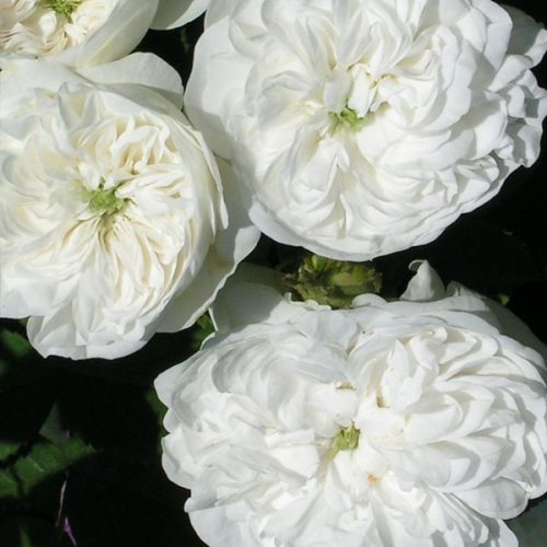 Mme. Hardy - White Damask Rose