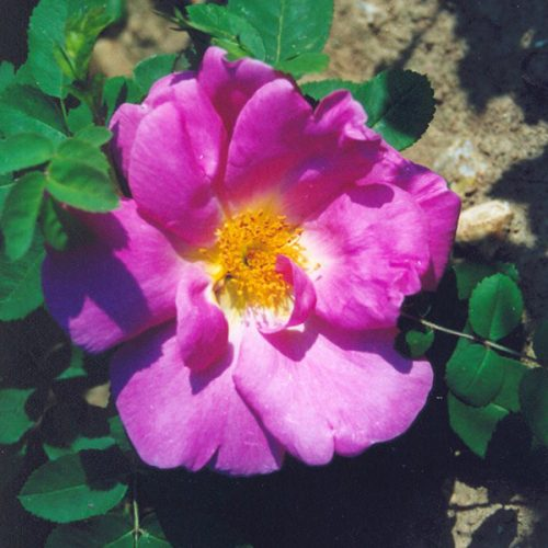 Marguerite Hilling - Pink Shrub Rose