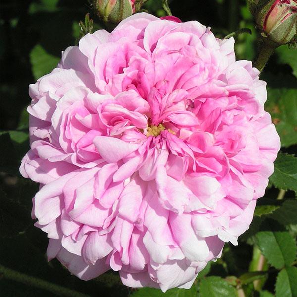 Marie Louise - Pink Damask Rose