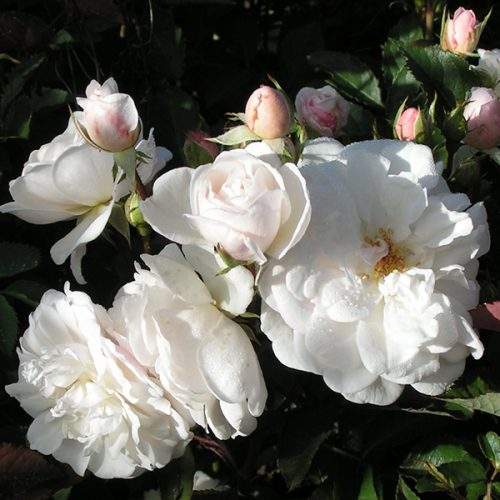Marie Pavie - White Polyantha Rose