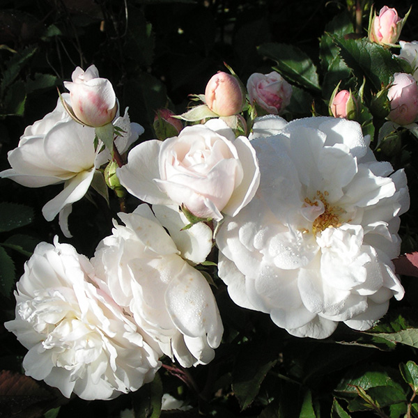 Marie Pavie - White Polyantha Rose