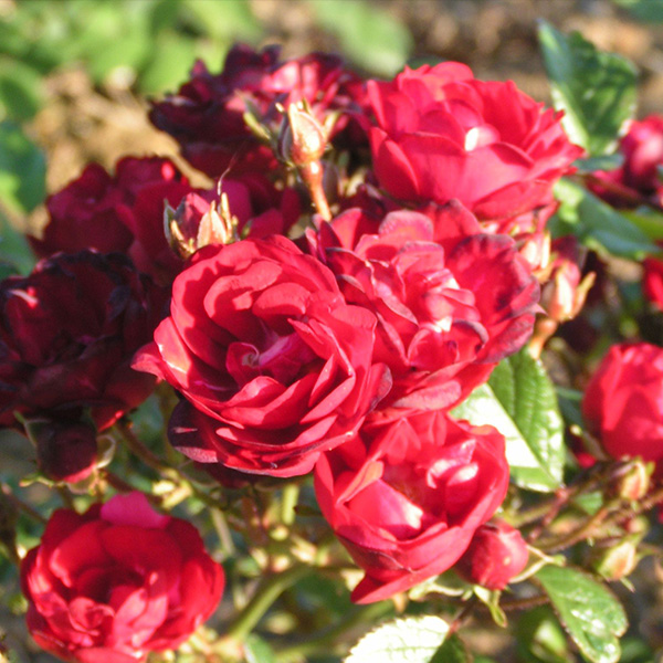 Miss Edith Cavell - Red Polyantha Rose