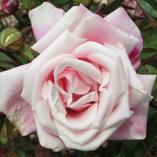 Mme Antoine Mari - Pink Rose