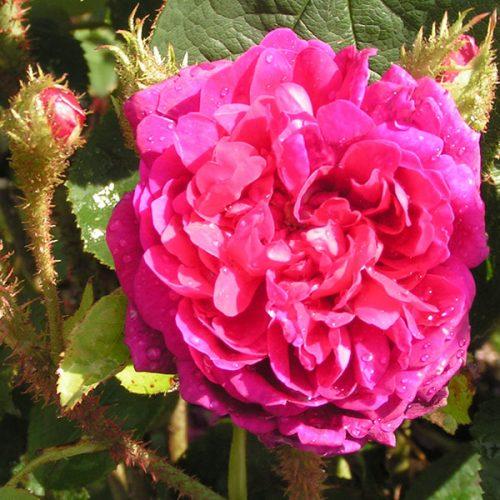 Mme. de la Roche-Lambert - Moss Rose