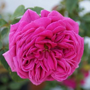 Mme Isaac Perreire - Bourbon Rose