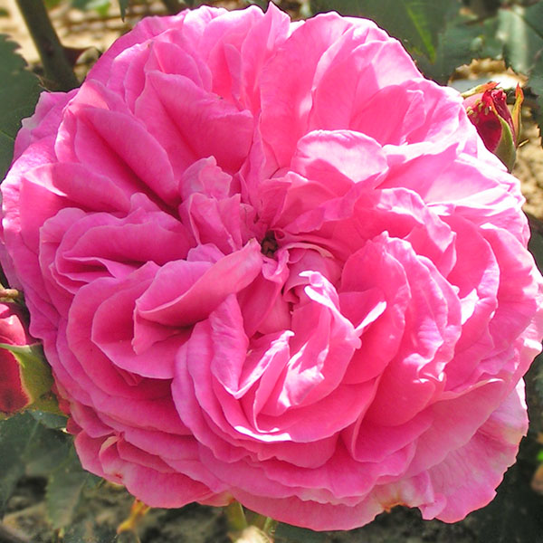 Mme Lauriol de Barny - Pink Bourbon Rose