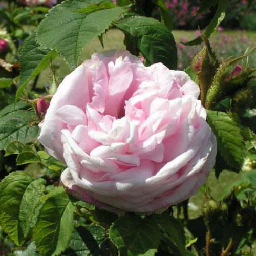 Mme Louis Leveque - Pink Moss Rose
