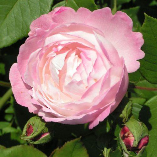 Mme. Pierre Oger - Pink Bourbon Rose