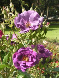 Rhapsody In Blue - Modern Shrub Rose
