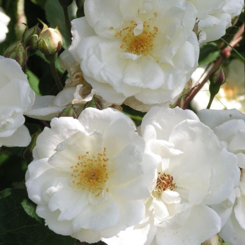 Moonlight - White Hybrid Musk Rose