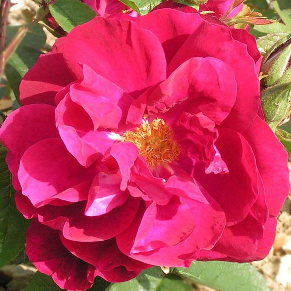 Mrs Anthony Waterer - Red Rugosa Rose