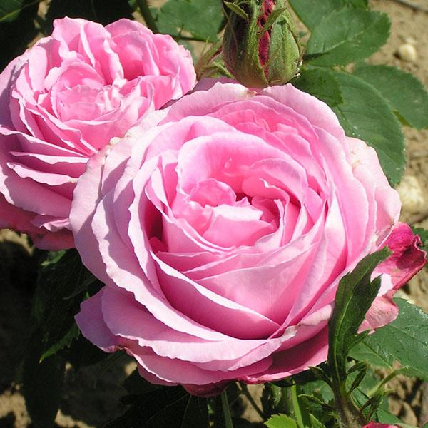 Mrs John Laing - Pink Hybrid Perpetual Rose